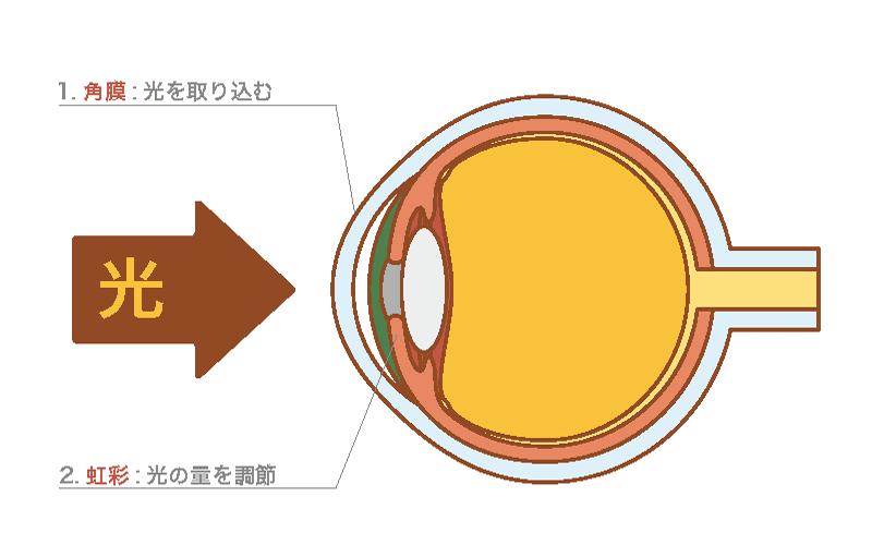 虹彩と角膜の働きの図