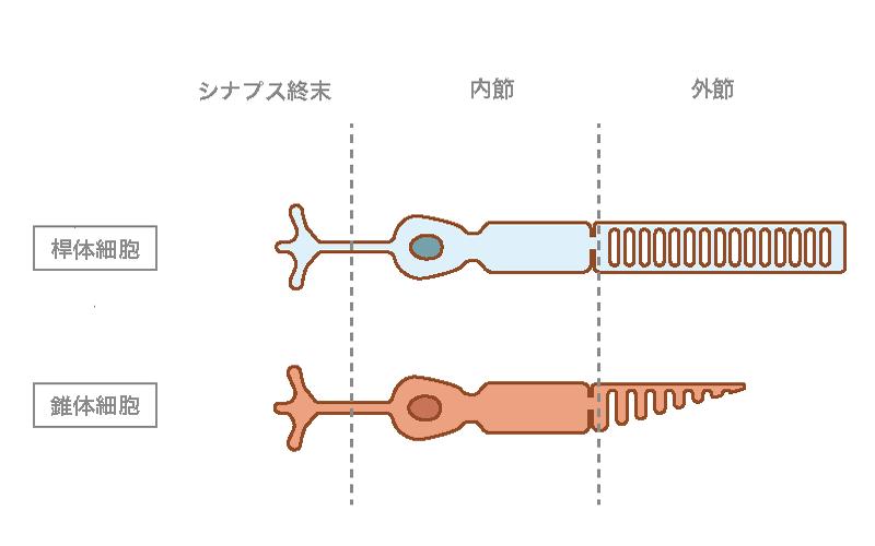 錐体細胞と桿体細胞の図