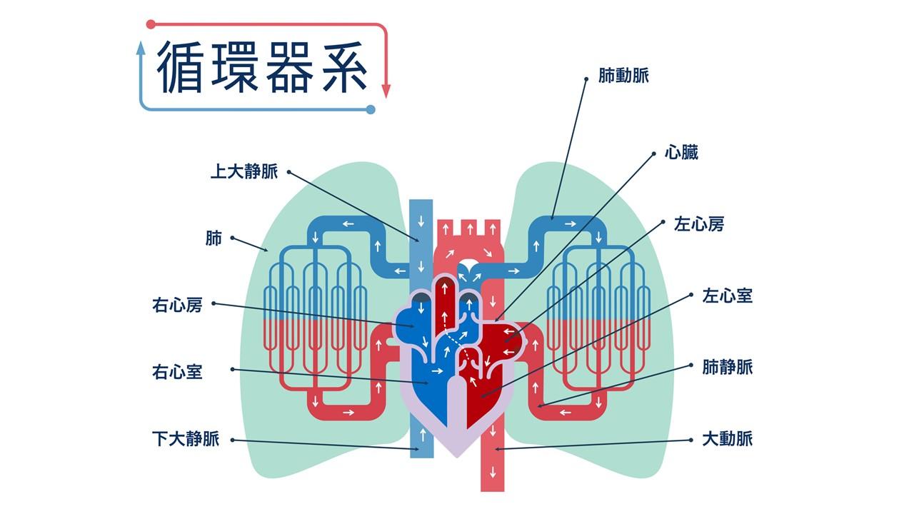心臓の構造と血液循環