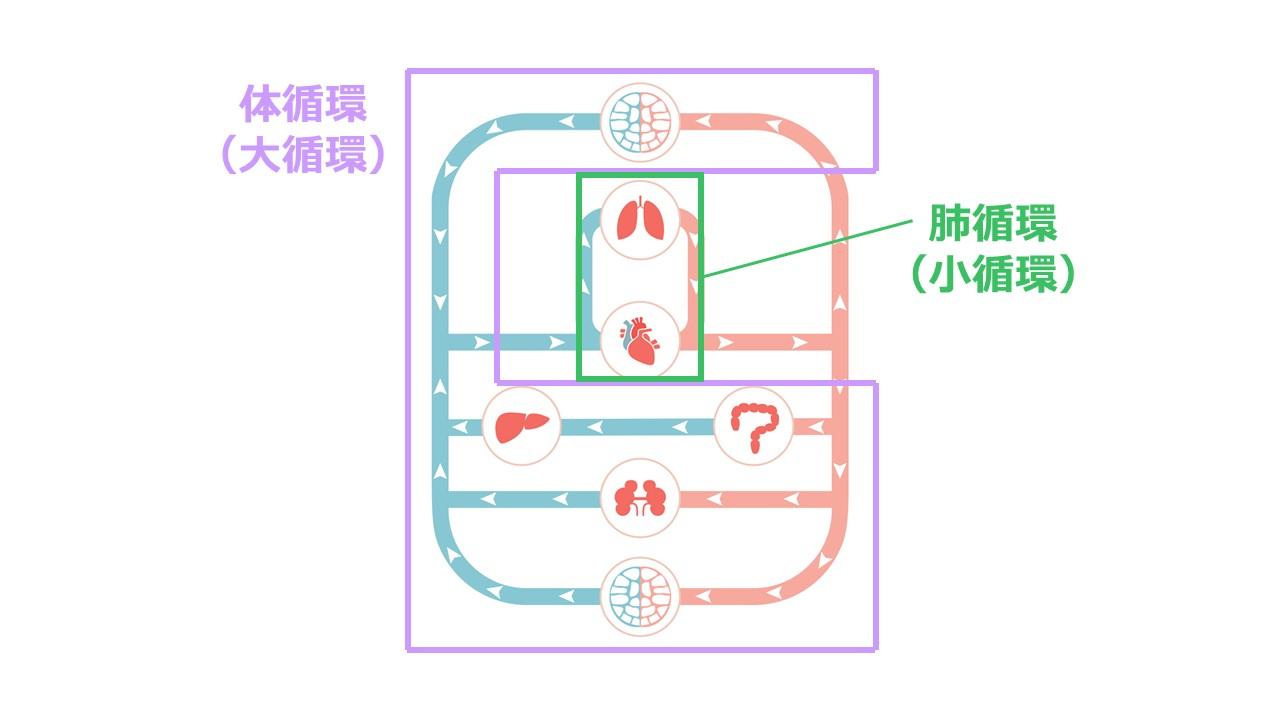 体循環と肺循環